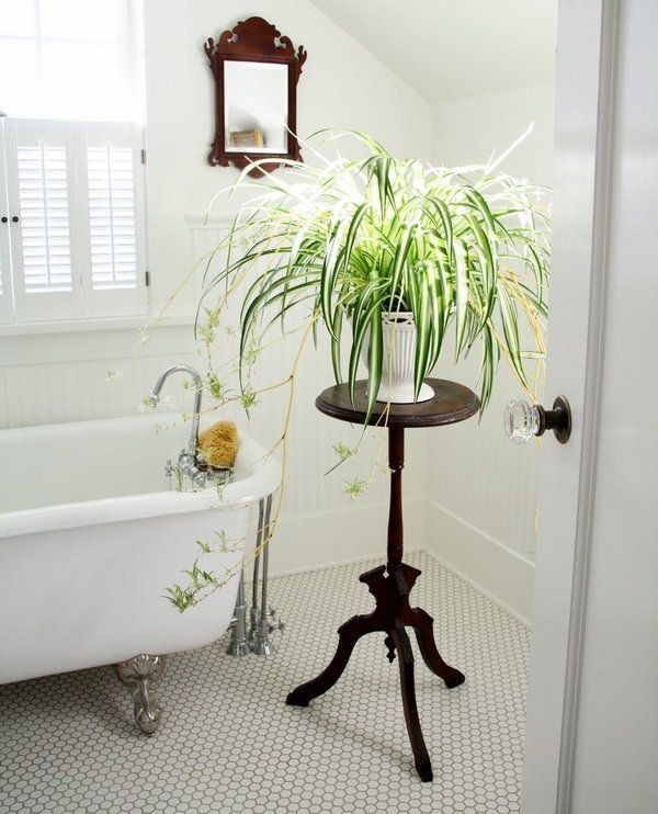 Spider plant bathroom plants