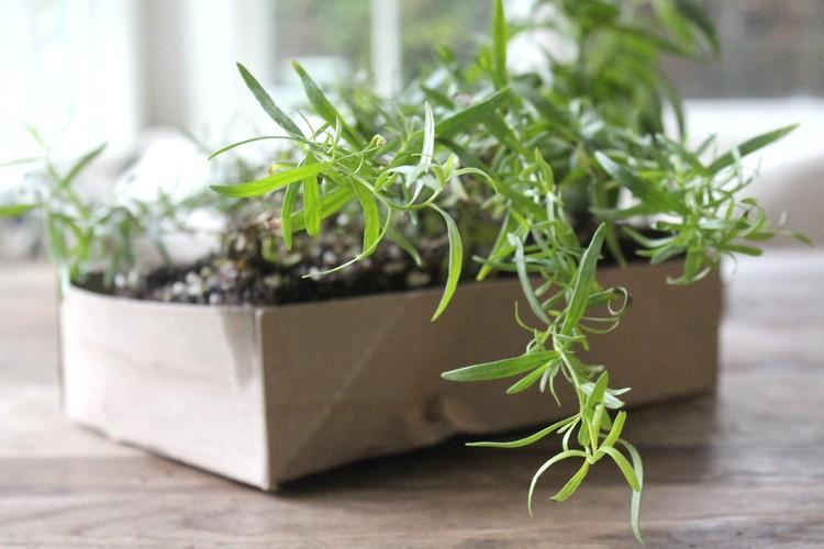 Tarragon herbs winter indoor