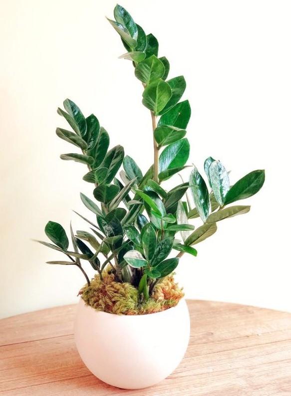 ZZ PLANT GROW CARE GUIDE