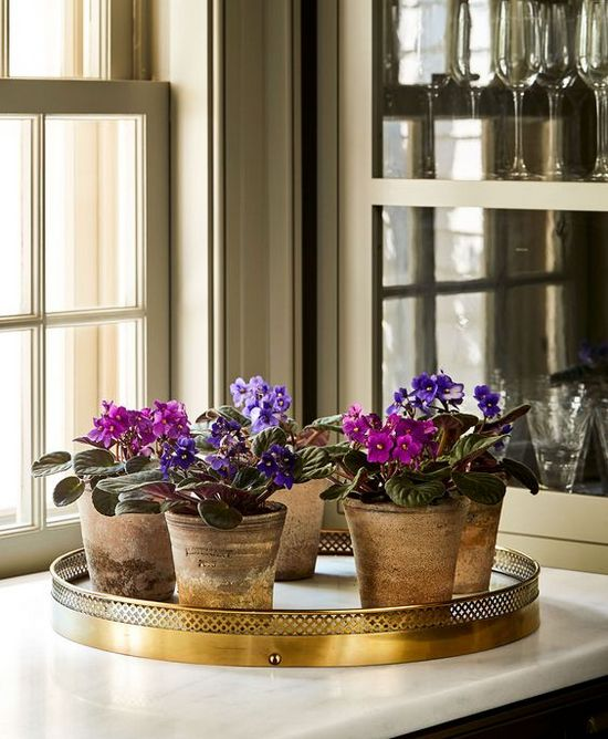 african violets in the kitchen
