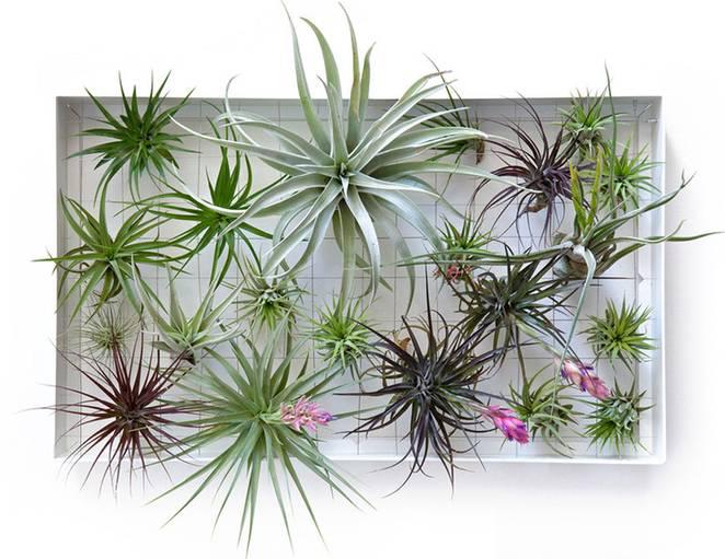 air plants indoor wall garden