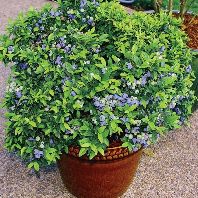 blueberries in pot containers