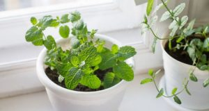 container Growing mint indoors