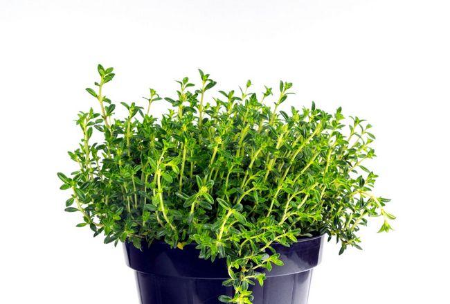 easy tips growing savory indoors