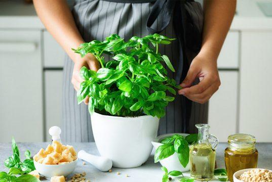 growing basil indoor