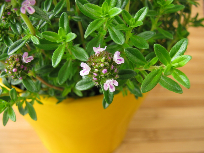 how savory flowers grow indoors