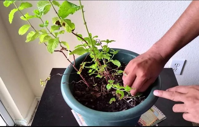how to care mint indoor
