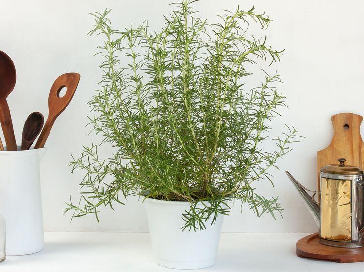 indoor rosemary herbs winter