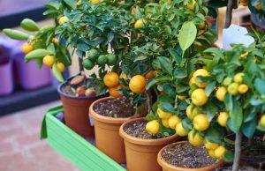 lemon types dwarf-citrus-trees