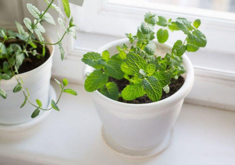 mint herbs winter indoor