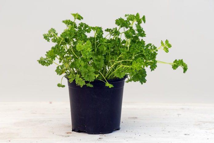 parsley herbs winter indoor