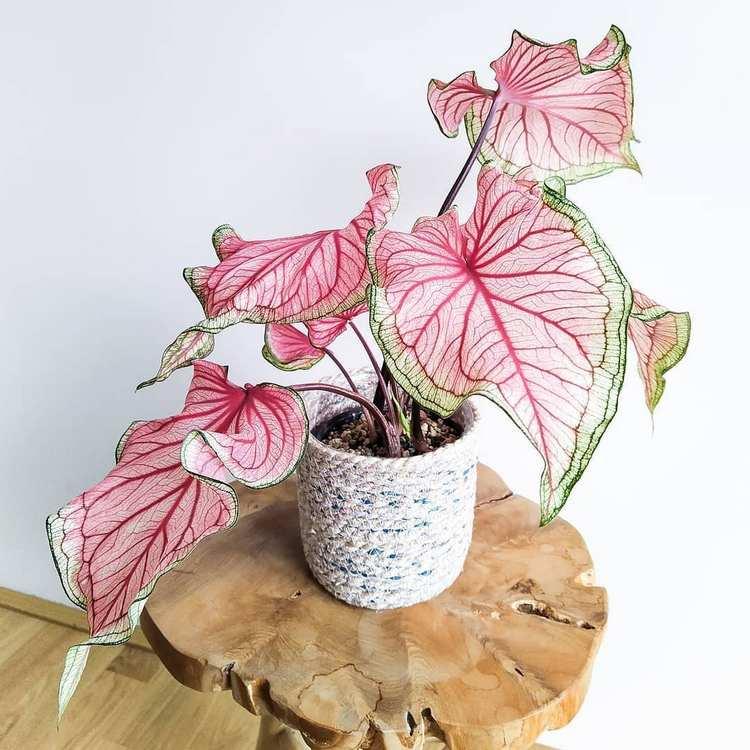 pink houseplant Caladium Florida Sweetheart