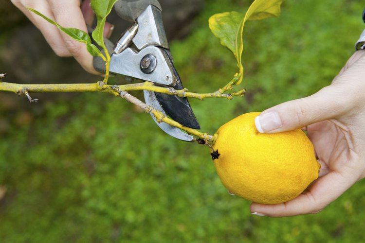 take kare lemon-pruning