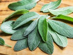 tips Growing Sage Plant Indoors