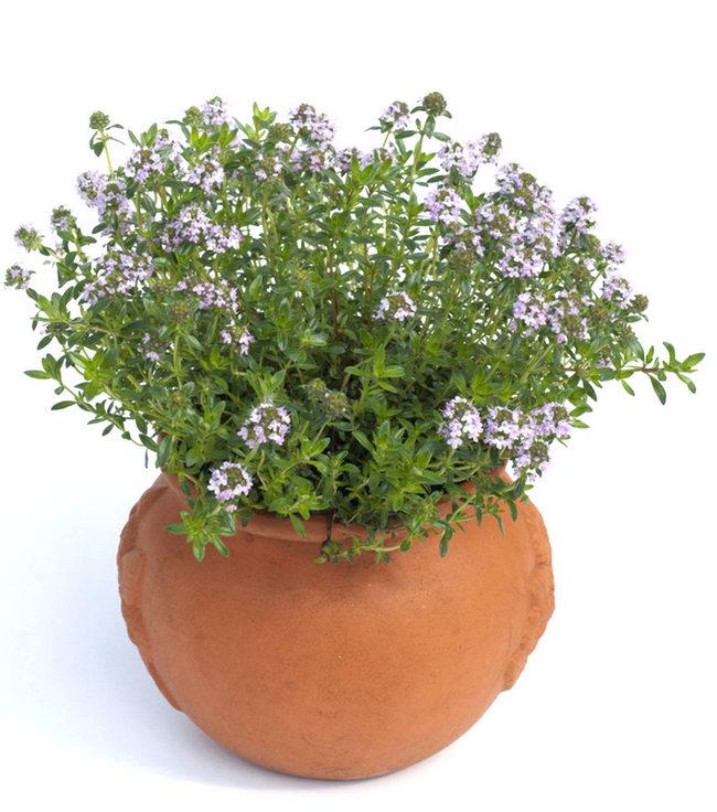 winter savory herbs winter indoor