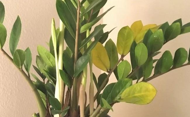 zz plant problem yellow leaves