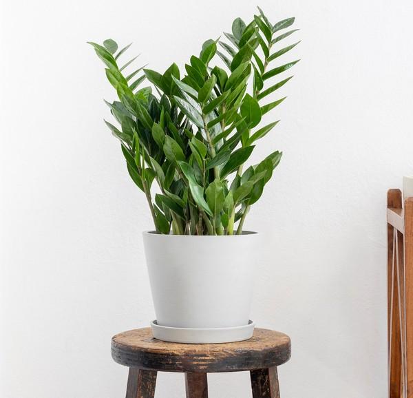 zz plant indoor houseplant survive hard in winter
