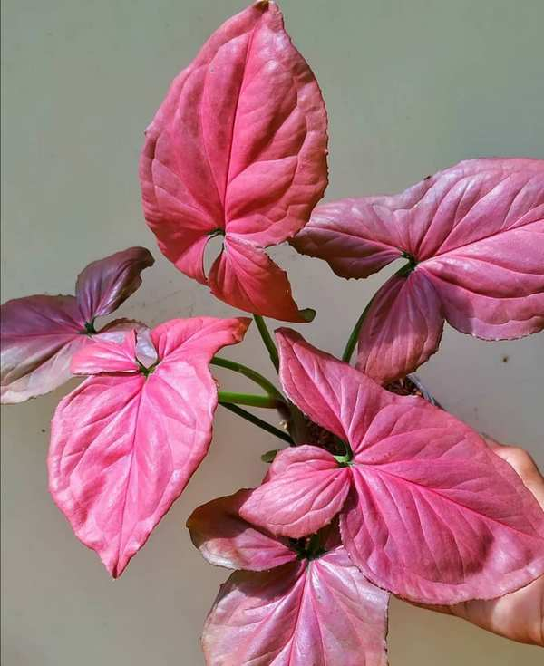 Syngonium Pink Perfection
