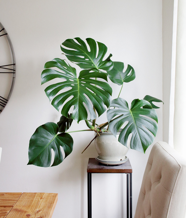 How to Grow and Care Monstera Deliciosa2