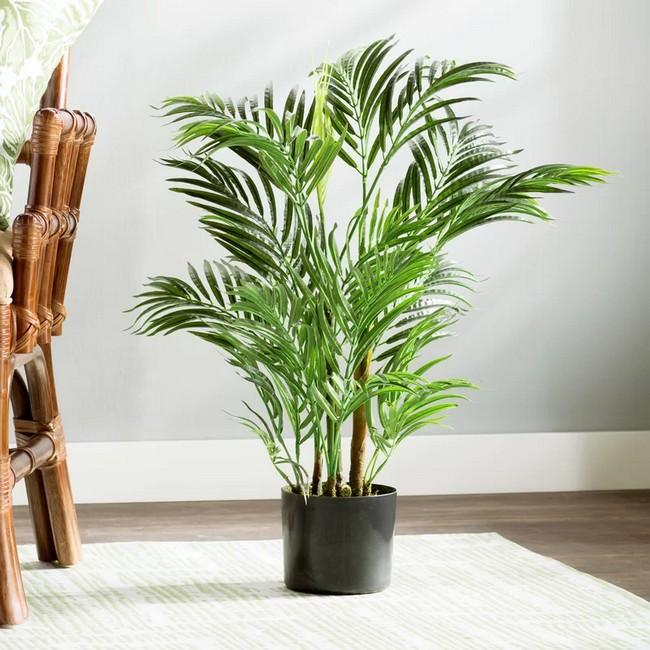 Areca Palms tall indoor plant