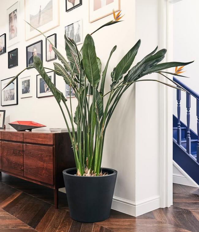 Bird of Paradise tall indoor plant