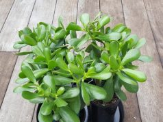 Care and Guide Of Jade Plants