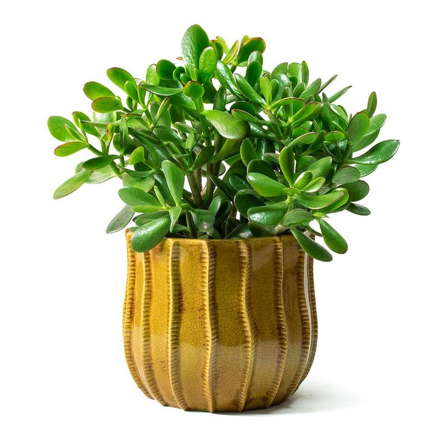 Care and Guide Of Jade Plants2