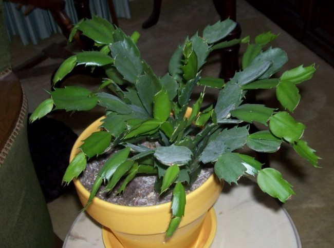 Christmas Cactus Not Blooming