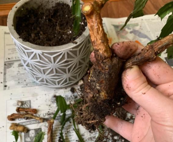 Christmas Cactus stem rot