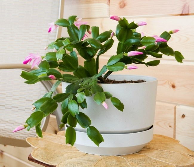 Christmas Cactus Plant Care & Growing Guide2