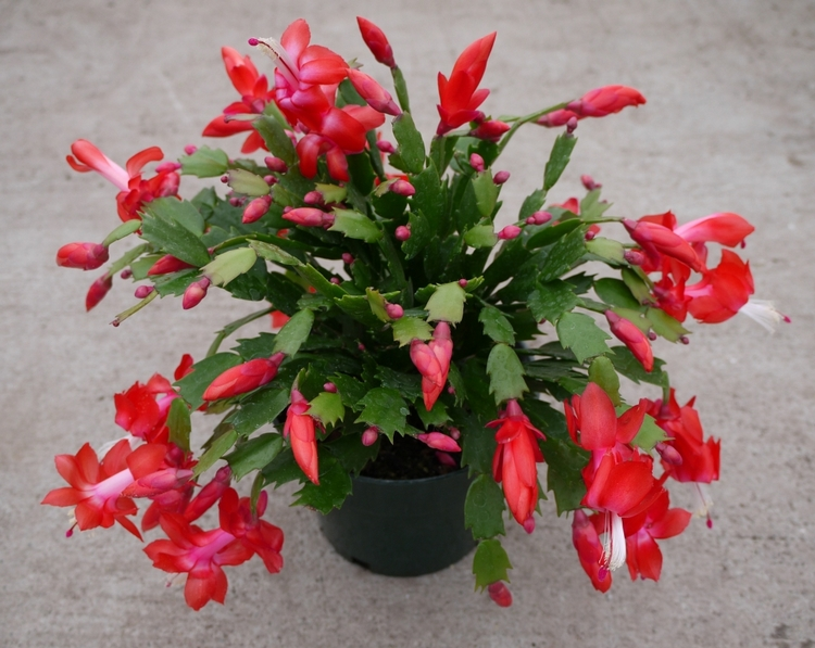 Christmas Cactus Plant Care & Growing Guide