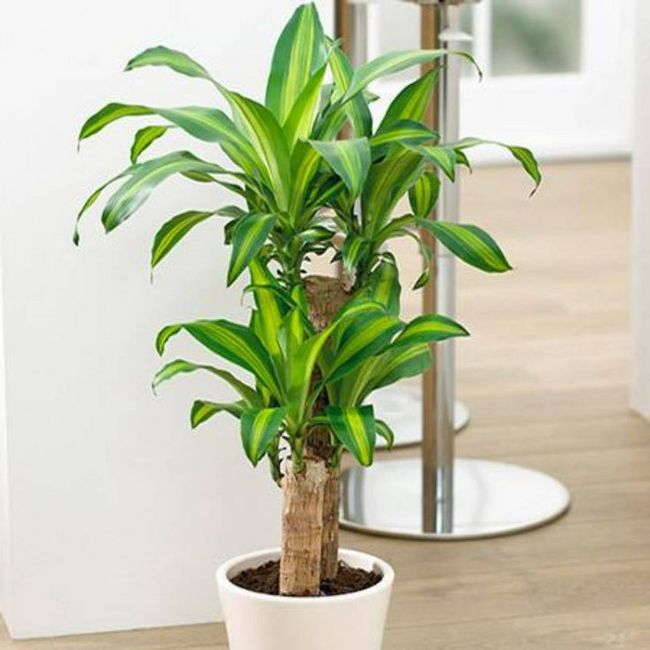 Corn Plant tall indoor plant