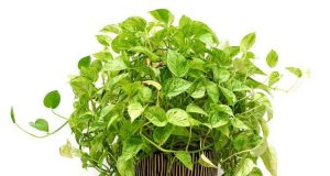 Easy Growing Pothos - Epipremnum aureum Care Guide