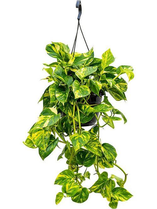 Easy Growing Pothos - Epipremnum aureum Care Guide2