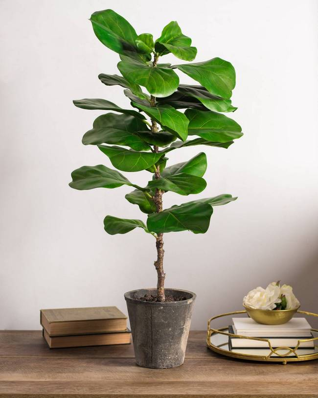 Fiddle Leaf Fig tall indoor plant