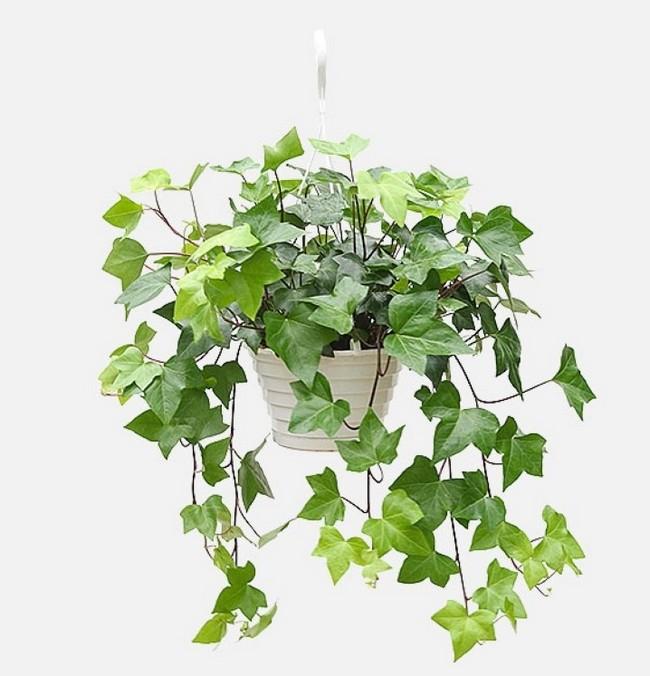 GREEN IVY hanging plant