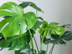 How to Grow and Care Monstera Deliciosa