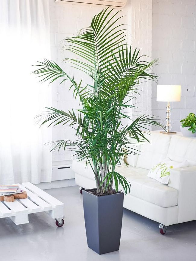 Majesty Palm tall indoor plant