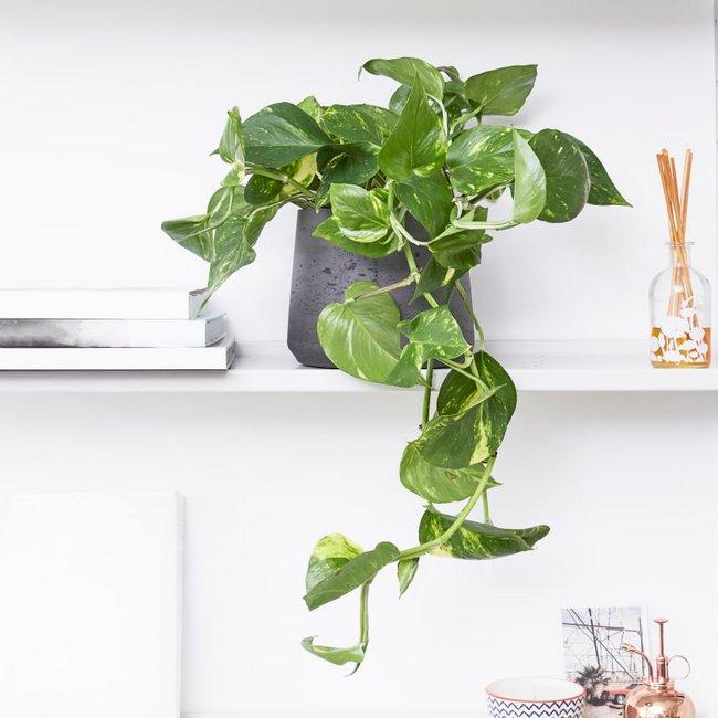 Pothos indoorplant