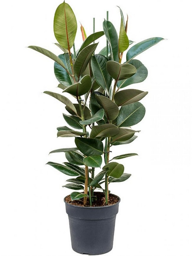 Rubber Plant tall indoor plant