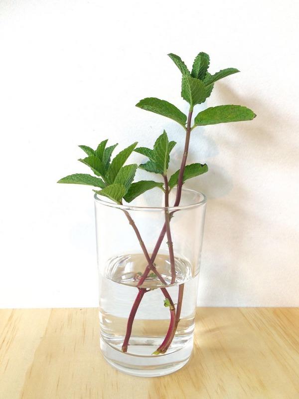 Spearmint grow in waters