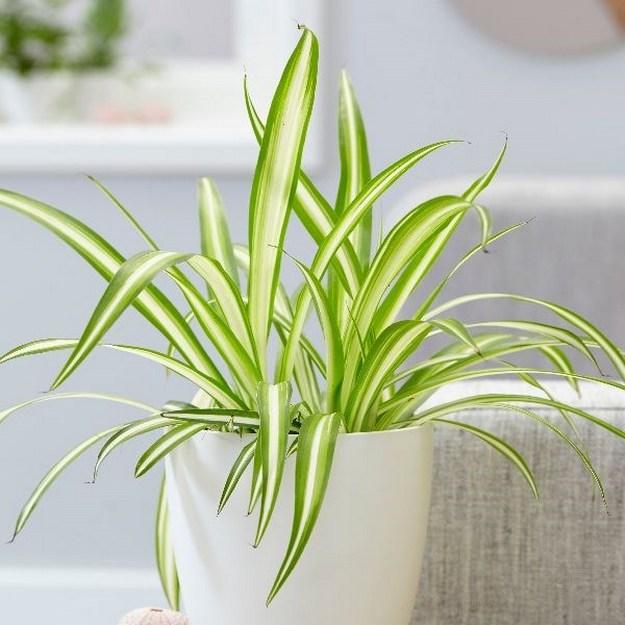 Spider Plants indoorplant