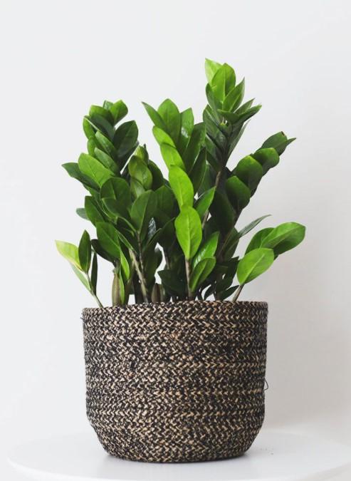 ZZ Plant indoors