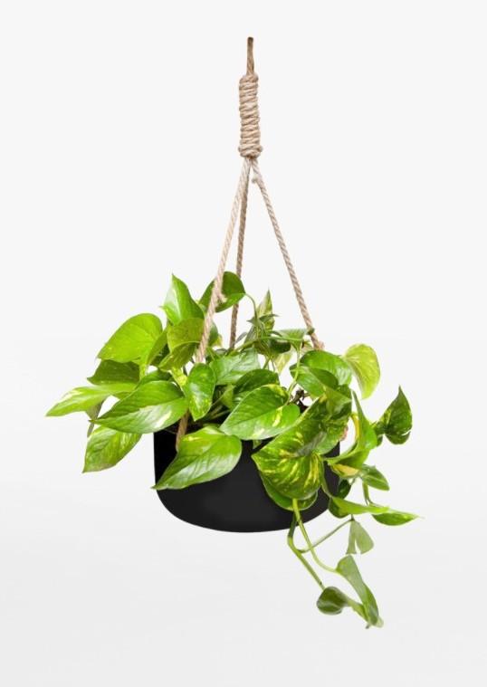 devi's ivy hanging plant