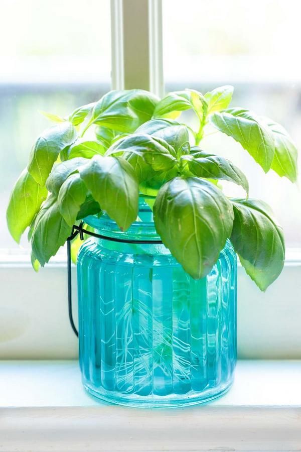 grow Basil in water jar