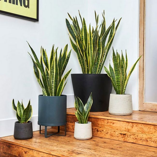 snakeplant indoorplant