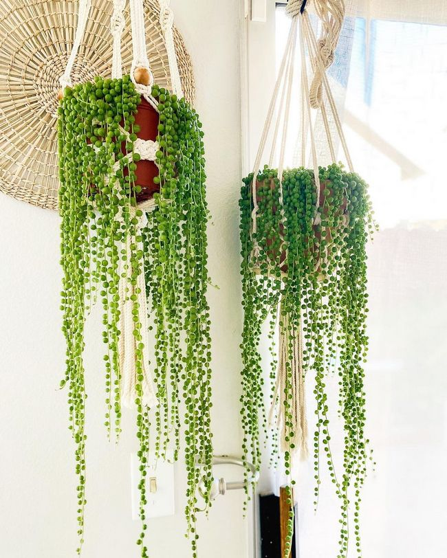 string of pearls low care hanging plant