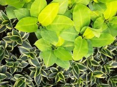 Philodendron Background